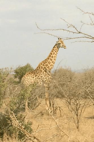 Dad giraffe